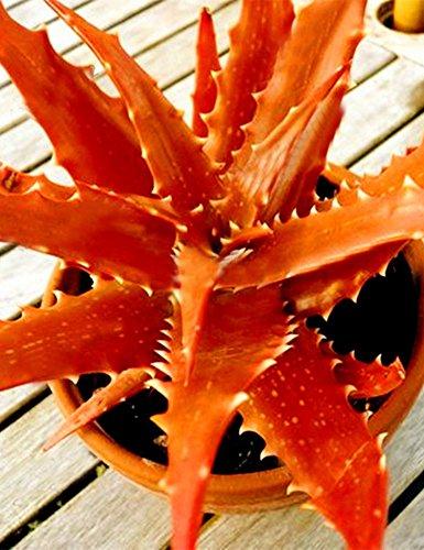 Kisshes 50 pc Aloe Vera Samen Sukkulente Zimmerpflanzen Schönheit Essbare Kosmetik Pflanzen Bonsai Samen Seed für Heim Garten Orange