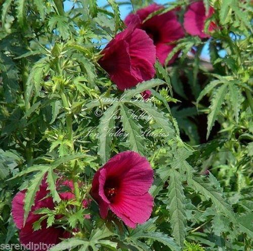 Hibiscus cannabinus Kenaf Blumensamen Rote tropische Blumen zieht Schmetterlinge