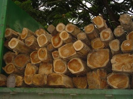 Teak Baum Der Klassiker unter den EdelhölzernTOP Bonsai geeignet 5 Samen