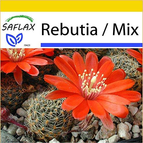 SAFLAX - Anzucht Set - Kakteen - Argentinischer Zwergkaktus - 40 Samen - RebutiaMix