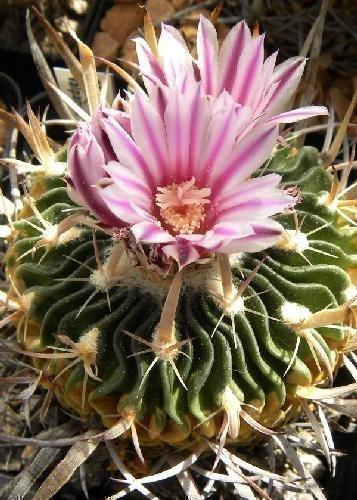 Tropica - Kakteen - Lamellenkaktus Echinofossulocactus lamellosus - 40 Samen