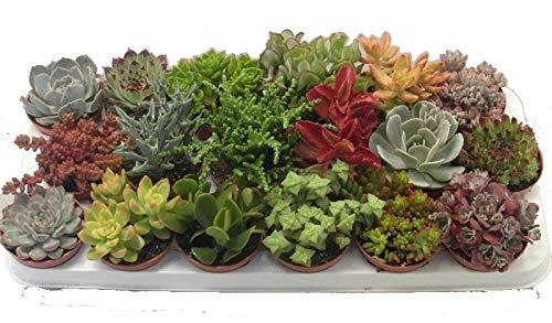 Sukkulenten Mischung je im 9cm Topf Starter Set 6 Pflanzen im Set