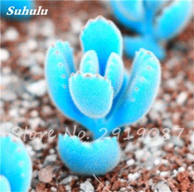 Schlussverkauf 200 Stück Seltene Mini Blau Lithops Samen Kaktus Sukkulenten Samen Ass Blumen Stein Bonsai Balkonpflanze für DIY Hausgarten