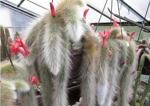 Shopmeeko Begrenzte heißer Verkauf Sementes Kaktus hildewintera Colademononis Pflanzen Sukkulenten Bonsai Diy Hausgarten - 20 StückMenge