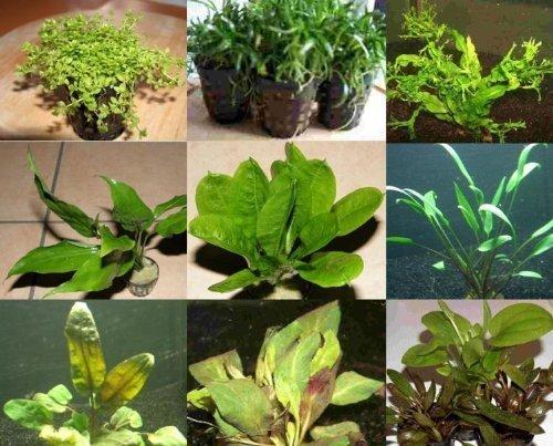 10 Töpfe 5 Sorten Aquarienpflanzen Wasserpflanzen