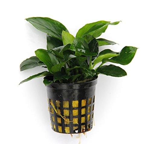 3 Töpfe Anubias NanaZwergspeerblatt - barschfeste Wasserpflanzen