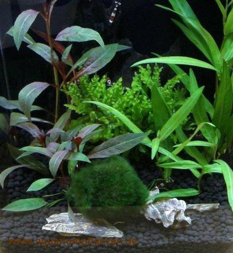 Nano 2 Wasserpflanzen Set für Nanoaquarium 15-25l