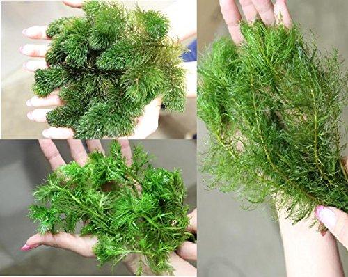 Unterwasserpflanzen Sortiment 25 Pflanzen Wasserfeder Teichpflanzen Teichpflanze Teich
