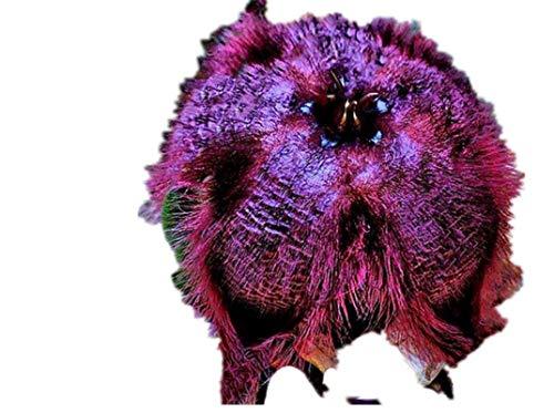 KINGDUO 100PcsPack Stapelia Pulchella Seeds Colorful Cactus Lithops Bonsai Garden Courtyard Pflanzen-2