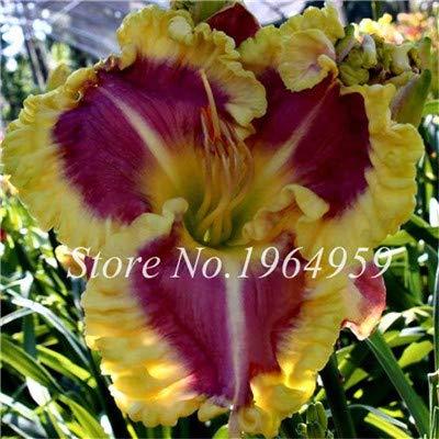 Pinkdose So Bright 30 Pcs Hybrid Mixed Bonsai Taglilie Blumen Bonsai Farbe Hybrid Hemerocallis Bonsai Neuer Tag Lily Bonsai Garden Decor 17