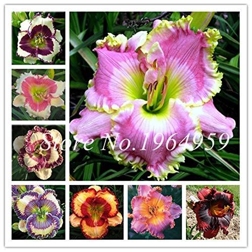 Pinkdose So Bright 30 Pcs Hybrid Mixed Bonsai Taglilie Blumen Bonsai Farbe Hybrid Hemerocallis Bonsai Neuer Tag Lily Bonsai Garden Decor gemischt