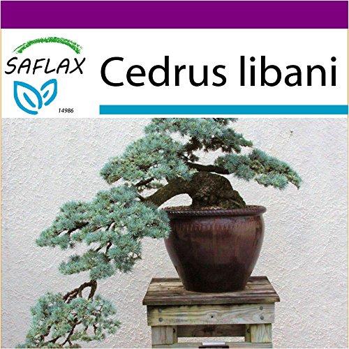 SAFLAX - Big Garden - Bonsai - Libanon Zeder - 20 Samen - Cedrus libani