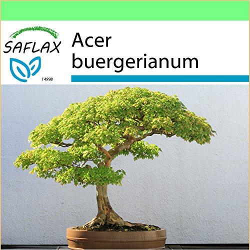 SAFLAX - Garden to Go - Bonsai - Dreispitzahorn - 30 Samen - Acer buergerianum