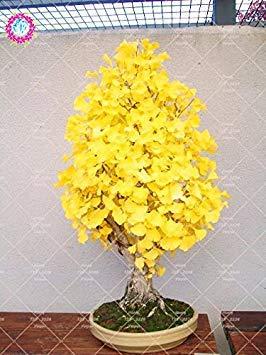 Virtue 5 pcs Heirloom Organic Ginkgo Biloba Gingko Maidenhair Tree seeds Nuts Bonsai Tree Grown From Seed Plant Pot For Garden