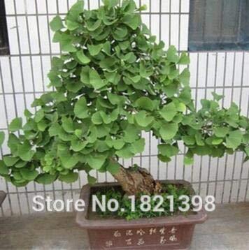 Go Garden Frühling Bonsai Ginkgo Samen 20 Stücke 10 Arten Mix Blumensamen Novel Blühende Pflanze Für Hofgarten 2