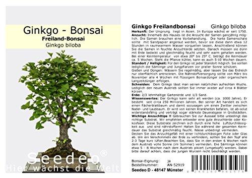 Seedeo Ginkgo Freilandbonsai Ginkgo biloba Bonsai 6 Samen