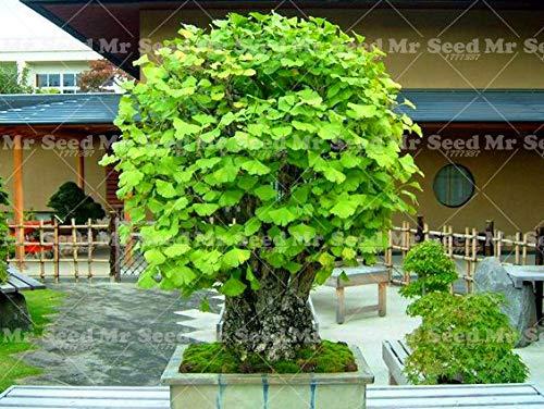 Shopmeeko 5 STÜCKE Ginkgo Biloba pflanze Schöne Laub Pflanzen Ginkgo Bonsai Gelb Topf Edel Chinesische kräutermedizin anlage 4