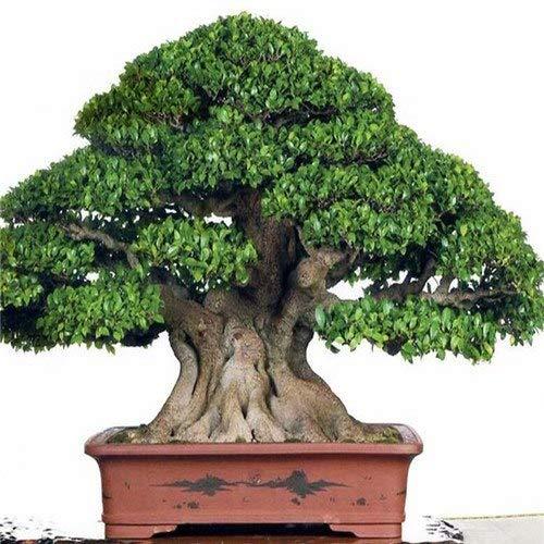Bloom Green Co 50pcs Seltene echte Ficus Ginseng Samen Ginseng Kräutersamen Banyan Baum Samen Bonsai Hausgarten 5