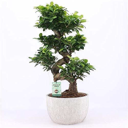 Blumen Senf Bonsai Ficus microcarpa Ginseng 100-110 cm Chinesische Feige Zimmerpflanze
