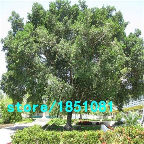 Pinkdose Chinesische Seltene Chinesische Feige-Baum-Samen 100pcs China Roots Sementes Bonsai Ginseng Banyan Garden Baum im Freien Pflanzer Lila