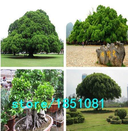 Pinkdose Chinesische Seltene Chinesische Feige-Baum-Samen 100pcs China Roots Sementes Bonsai Ginseng Banyan Garden Baum im Freien Pflanzer Mehrfarbig