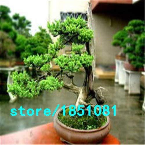 Pinkdose Chinesische Seltene Chinesische Feige-Baum-Samen 100pcs China Roots Sementes Bonsai Ginseng Banyan Garden Baum im Freien Pflanzer Weiß