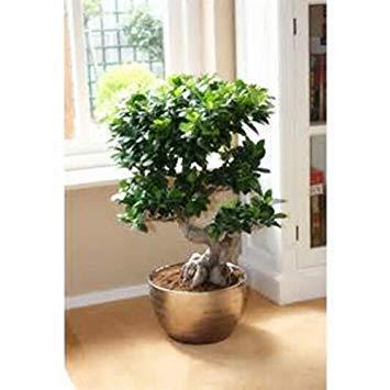 VISTARIC Chinesische Seltene Chinesische Feige-Baum-Samen China Roots Sementes Bonsai Ginseng Banyan Garden Baum im Freien Pflanzer - 5pcs  lot