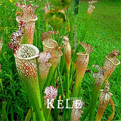 Bloom Green Co Neu 2018 Grün Nepenthes Insektenfressende Pflanze Pflanzen Blume Bonsai Essen Mosquito Sorten von Garten 50 PCLos BAFZ58 12