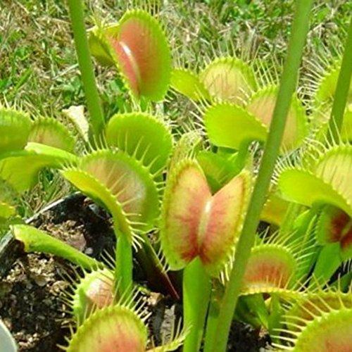 Flystrap Insektenfressende Samen für Pflanzen Fleischfressende Pflanzensamen Bonsai Blumensamen 10 stücke oder 30 stücke oder 50 teilebeutel