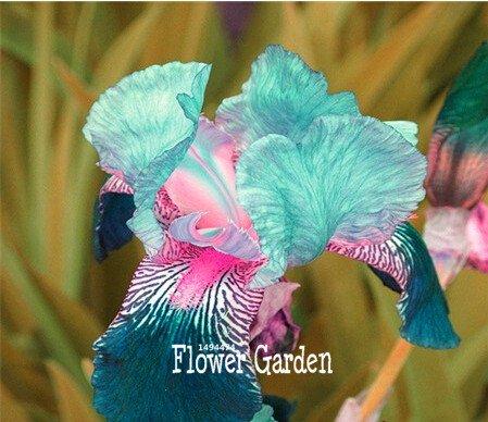 Pinkdose 50 STÜCKE blühende himmelblau und weiß gemischt japanische iris orchidee blumen topf bonsai hof gartensamen