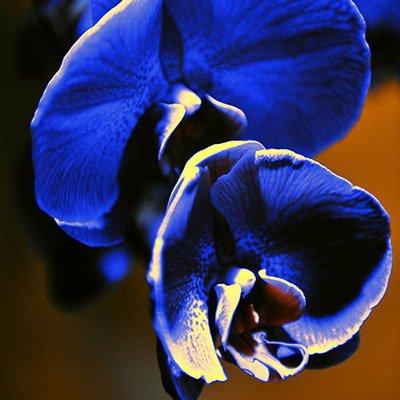 Shopmeeko Rosa Phalaenopsis-Orchideen-Blumen-Innen-Bonsai-Orchideen 100 PartikelLos Violett