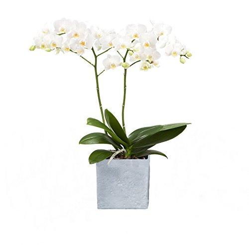 Dominik Blumen und Pflanzen Zimmerpflanzen Orchidee Phalaenopsis weiß blühend 2 triebig 1 Pflanze und 1 Scheurich Übertopf grau  stone  weiß