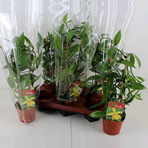 Echte Vanille Pflanze am Spalier Vanilla planifolia - Kletterorchidee im 11cm Topf