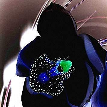 Visa Store Davitu 100 STÃœCKE Seltene Schwarze Orchidee Blumensamen Exotische Orchidee Hausgarten Bonsai Pflanzen Samen