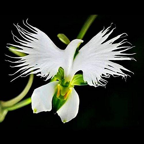 Yukio Samenhaus - 100 Stück Selten Asiatische weiße Vogelblume Samen Raritäten wie Taube Orchidee BalkonTerrassenpflanzen