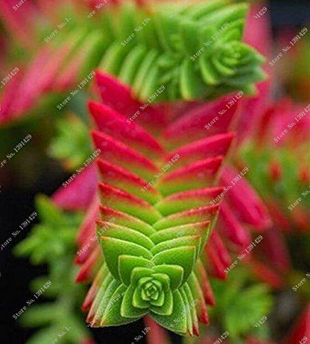 100pcs Verschiedene Lithops Samen Lebende Stone Flower kakteen Samen Seltene Sukkulenten Bonsai Bunte Fleischige Pflanze Einfache Garten wachsen