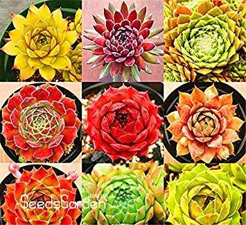 Neue Ankunft Hausgarten Pflanze 10 Stück Seltene Sempervivum Mix Sukkulenten Samen Blumen für Zimmer Bonsai Topfpflanzen  Geschenk  CD4KB