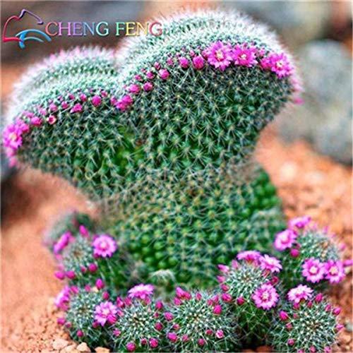Shopmeeko 100 stücke Exotische Kaktuspflanzen Japanische Seltene Sukkulenten pflanzen Blume Sementes Bonsai pflanzen Zimmerpflanzen Mehrjährige Blumen Garten 2