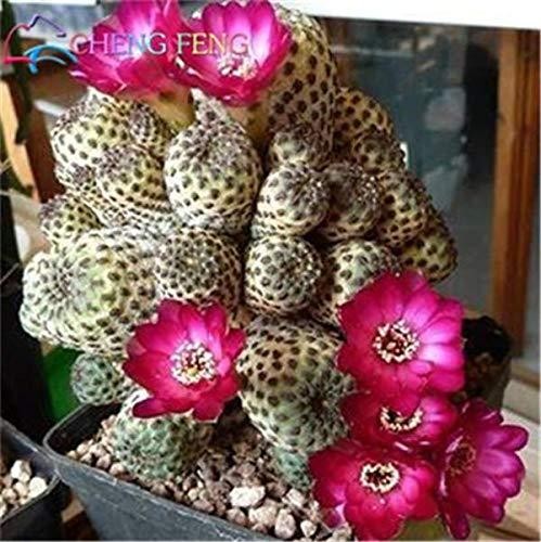Shopmeeko 100 stücke Exotische Kaktuspflanzen Japanische Seltene Sukkulenten pflanzen Blume Sementes Bonsai pflanzen Zimmerpflanzen Mehrjährige Blumen Garten 6