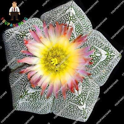 Shopmeeko 200 STÃœCKE Seltene Frische Sukkulenten Topf Bonsai Hausgarten-Anlage Sempervivum Mix-Arten Sukkulenten Bonsai Blumen Bonsai Topf Hellgelb