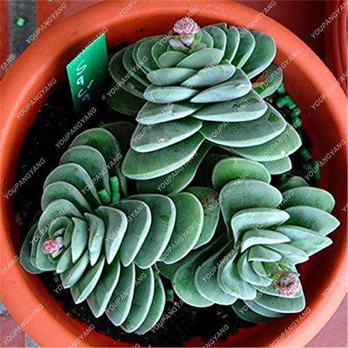 Shopmeeko 50 Stück Seltene Sukkulenten Regenbogenpflanzen Kakteen Bonsai Pseudotruncatella Living Stone Seltene Catus Succulentas Pflanzen Hausgarten Mehrfarbig