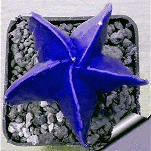 Swiftt Hausgarten Pflanze 20Stück Seltene Mix Sukkulenten Samen Blumen für Zimmer Bonsai Topfpflanzen