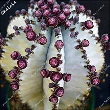 Vista 10 Teilebeutel Echte Mini Kaktus Samen Seltene Sukkulenten Mehrjährige Kräuterpflanzen Bonsai Pot Blumensamen Zimmerpflanze Einfach Wachsen In Töpfen