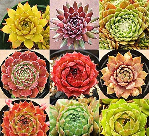 freies Schiff New Home Gartenpflanze 40 Samen Seltene Sempervivum Mix Sukkulenten Samen TENERIFFA