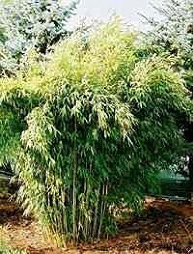 Fargesia murielae Green Arrows - Gartenbambus Green Arrows Preis nach Größe 60-80 cm