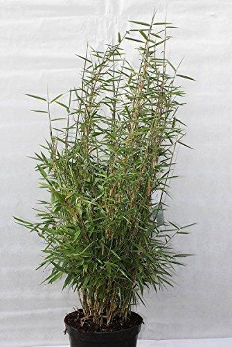 Fargesia murielae SmaragdⓈ - Smaragdbambus Preis nach Größe 80-100 cm