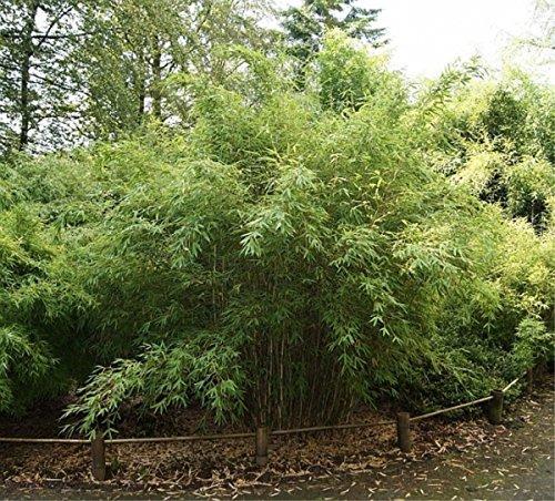 Fargesia murielae Standing Stone - Robuster Garten-Bambus Standing Stone Preis nach Größe 100-120 cm