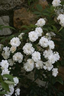 Guirlande d Amour -R- Rambler-Rose in A-Qualität Wurzelware ADR-Rose