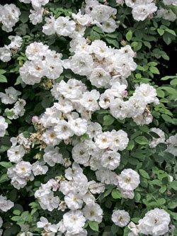 Venusta Pendula Ramblerrose im Rosen-Container