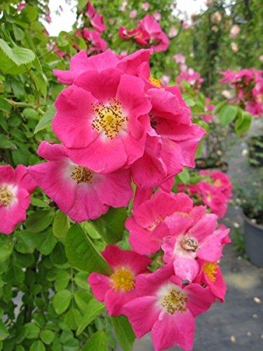 Kletterrose American Pillar XXL - Rosa American Pillar - rosa-weiß - Ramblerrose - Großpflanze - mehrjährige Solitärrose